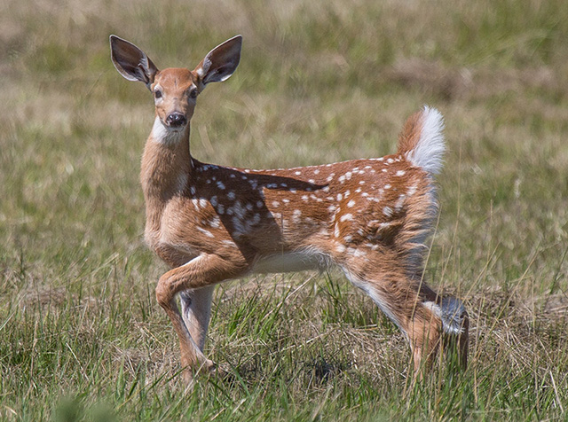 Surprised Fawn